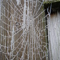 Frosty Web by Susan Baker