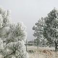 Frozen Fog On Pine Trees by Judithann O'Toole