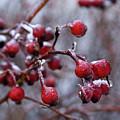 Frozen Fruit by Douglas Barnett