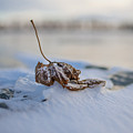 Frozen Leaf On Lake Reno by Alex Blondeau