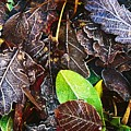 Frozen Oak Leaves, Glenveagh National by Gareth McCormack
