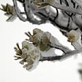 Frozen Pines 1 by Jouko Lehto
