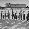 Frozen Walleye Pike Fish, Stizostedion by Thomas J Abercrombie