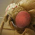 Fruit Fly Head, Sem by Power And Syred