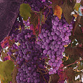 Fruit Of The Vine by Nicholas J Mast