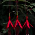 Fuchsia Bloom by Svetlana Sewell