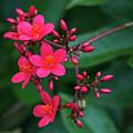 Jatrohpa Bush Blooms by Edie Ann Mendenhall
