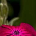 Fuchsia Delight by Daniel G Walczyk