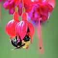 Fuchsia Flower Artwork by Lourry Legarde