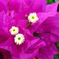 Fuchsia Flowers by Sheila Walker