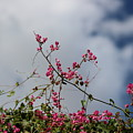 Fuchsia Mexican Coral Vine On White Clouds by Colleen Cornelius