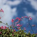 Fuchsia Mexican Coral Vine On Desert Sky by Colleen Cornelius