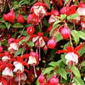 Fuchsia Pastel by Shirley Heyn
