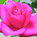 Fuchsia Rose by Joan Laine