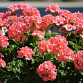 Full Bloom Geraniums  by Ruth Housley