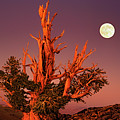 Full Moon Behind Ancient Bristlecone Pine White Mountains California by Dave Welling