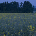 Full Moon Setting Over Rapeseed Field by Ian Middleton