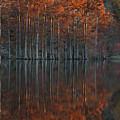 Full Of Glory - Cypress Trees In Autumn by Mitch Spence