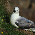 Fulmar Nesting On Cliff by Adrian Wale