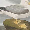 Fulmar Petrel by John James Audubon