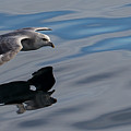 Fulmar Reflection 2 by Russell Millner