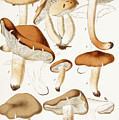 Fungi by Jean-Baptiste Barla