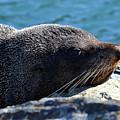 Fur Seal by Matias Dandrea