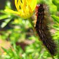 Furry Caterpillar On A Yellow Flower by Vanessa Yi-Kai Tsai