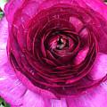 Fuschia Ranunculus by Pruddygurl Exclusives