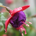 Fushia With Water by Michel Poulin