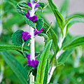 Salvia At Pilgrim Place In Claremont-california  by Ruth Hager
