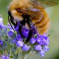 Fuzzy Honey Bee by Richard Rutan