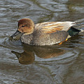 Gadwall  by Sharon Talson