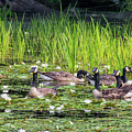 Gaggle Of Geese by Bill Wakeley