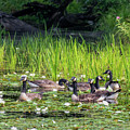 Gaggle Of Geese Square by Bill Wakeley