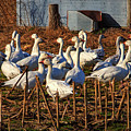 Gaggle Of Snow Geese At Frankford, Delaware by Bill Swartwout Photography