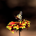 Gaillardia And Butterfly by Chris Giese