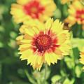 Gaillardia Flowers by Dan Radi