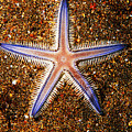 Galapagos Colorful Seastar by Ed Robinson - Printscapes