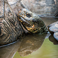 Galapagos Giant Tortoise In Pond Amongst Others by Ndp