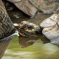 Galapagos Giant Tortoise In Pond Behind Another by Ndp
