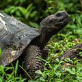 Galapagos Giant Tortoise In Profile In Woods by Ndp