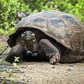 Galapagos Giant Tortoise Walking Down Gravel Path by Ndp