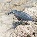 Galapagos Heron In Santa Cruz Island, Galapagos. by Marek Poplawski
