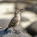 Galapagos Hood Mockingbirds by Marek Poplawski