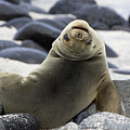 Galapagos Sea Lion by David Hosking and Photo Researchers