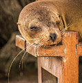 Galapagos Sea Lion Sleeping On Wooden Bench by Ndp