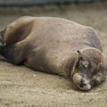 Galapagos Sea Lion Sleeps On Sandy Beach by Ndp