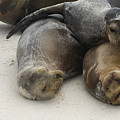 Galapagos Sea Lion Trio by Sally Weigand