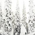Gallatin National Forest by Thomas R Fletcher